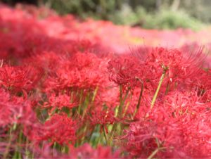 Things to do in Saitama, Higanbana red spider lily flower viewing in hidaka saitama, kinchakuda